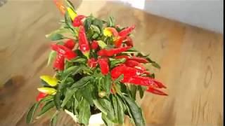طريقة زراعة الفلفل الحار الشطة فى المنزل (من بذور الفلفل نفسه)