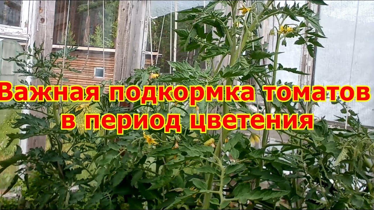 Важная подкормка томатов в период цветения