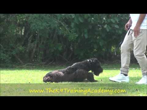 Giant Schnauzer Female - Xenia - The K9 Training Academy