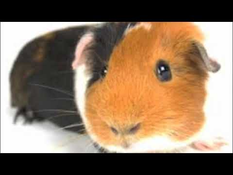 guinea pig diabetes