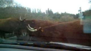 L'attaque des vaches