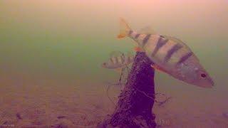У Старого Пня, Зимняя рыбалка на окуня, Подводные съемки(Ловля окуня на мормышку в глухозимье. Подводные съемки зимой в Подмосковье. Жизнь подо льдом на водохранили..., 2015-02-17T15:45:33.000Z)