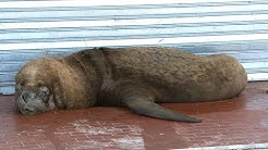 Seelöwen bevölkern Stadt in Argentinien in der Corona-Krise | AFP