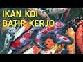 Ikan Koi Super Gemuk Super Dahsyat  Mp3 - Mp4 Download
