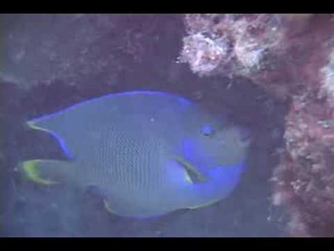 Bermuda Angelfish