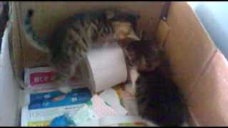 Котята и туалетная бумага