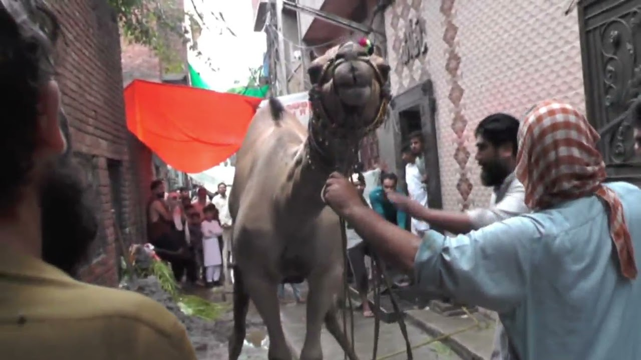 Dangerous cow Qurbani Eid ul Adha 2019 | Part 1