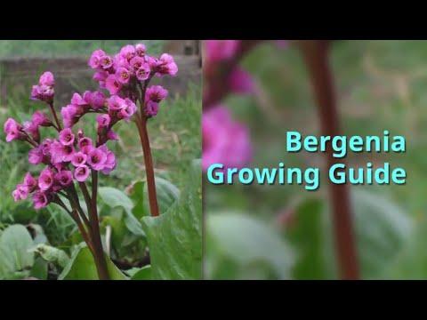 Bergenia Growing Guide