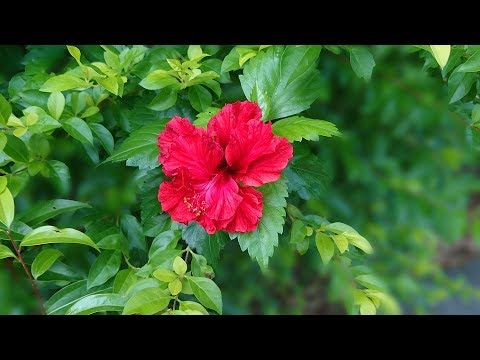 How To Make Hibiscus Powder At Home For Hair Skin Diy Homemade
