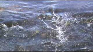 BATES, OREGON SALMON SPAWNING - MIDDLE FORK JOHN DAY RIVER - Videotaped By: Norm Rasmussen
