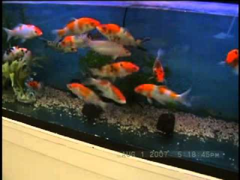 Koi fish at fish bowl pets in stamford connecticut video for Koi fish bowl