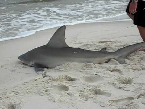 Dog Island Florida Map.Dog Island Sandbar Shark Youtube