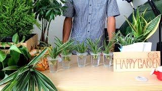 Cách nhân giống và trồng cây lan chi bằng nước