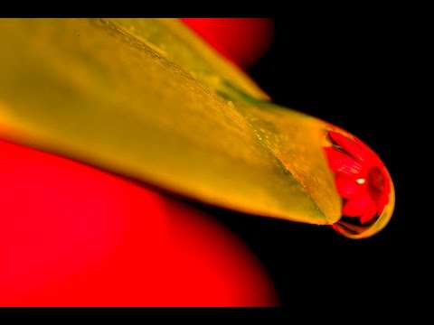 MACRO PHOTOGRAPHY TIPS - Refracted Flower In Water Droplet