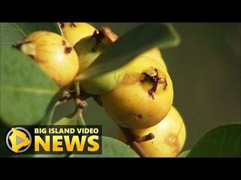 Biocontrol bug sparks public outrage