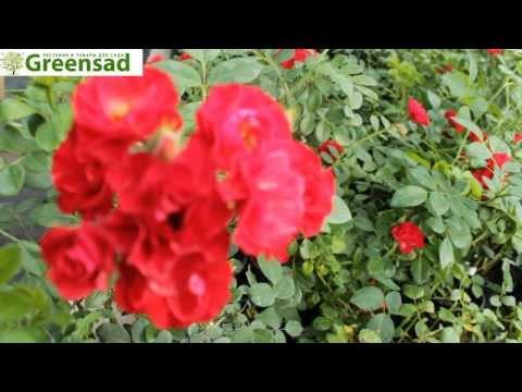 """Роза бордюрная """"Скарлет"""" - видео-обзор от Greensad"""