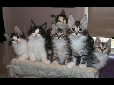 Maine Coon Cat & Kittens