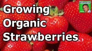 Growing Organic Strawberries