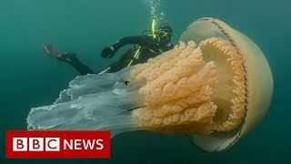 Giant human-sized jellyfish spotted by divers - BBC News