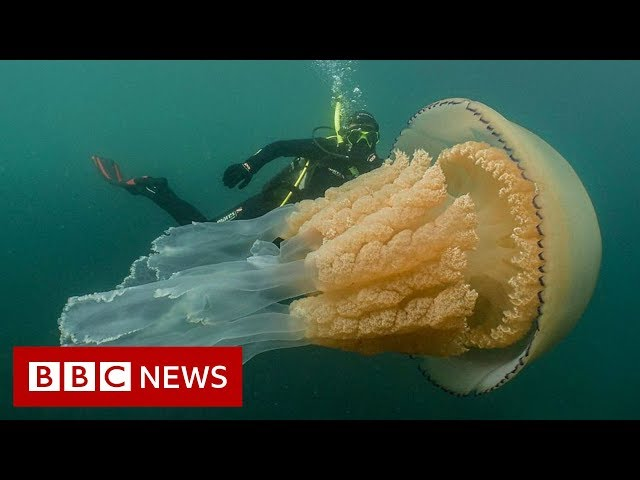 Giant jellyfish spotted by divers - BBC News