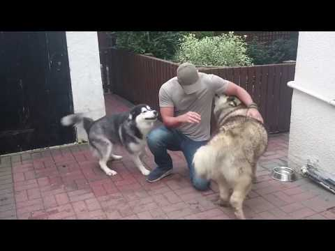 Happy Alaskan malamutes when Dad returns from holidays
