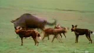 Female Wildebeest Vigorously Defends Calf