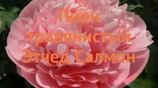 Пион травянистый Этчед Салмон etched salmon