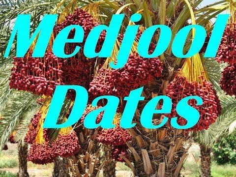 How To Germinate Medjool Date Seeds, Grow Medjool Date Palm Trees