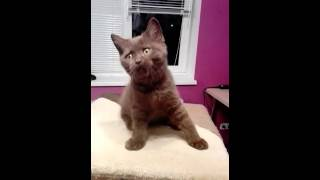 Британский шоколадный котенок мальчик Томас