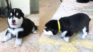 My Puppies Learn to Walk for the First Time!