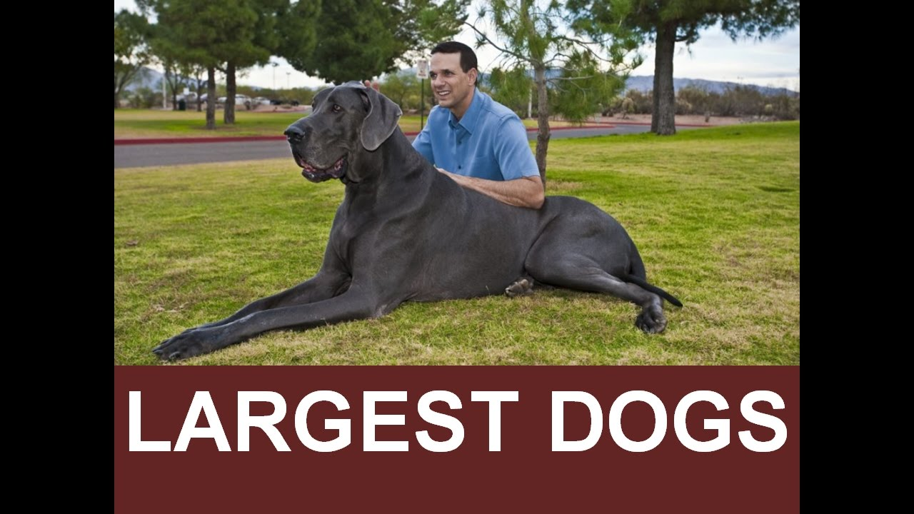 Cute Dogs Pets Zeus World S Tallest Dog 2016