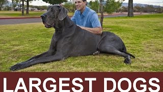 Top Biggest Dogs | Guinness Book of World Records Tallest Dogs