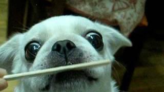 I'm Like A White Pug, But I Am Not:mix Baby Of French Bulldog And Peikingese Licking Icecream