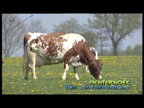 Red Holstein cattle in de Achterhoek, The Netherlands