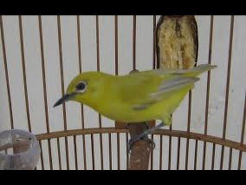 Pleci Ngerol Kolibri Prenjak Cabe Cabean
