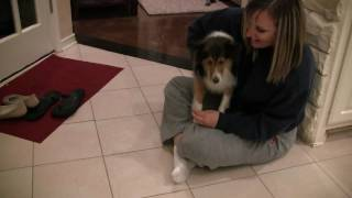 Sheltie Meets the Puppies