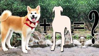 Akita Mixes: 9 Different Akita Hybrids You'll Love
