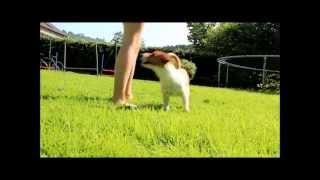 Jack russell : Amazing dog tricks 2