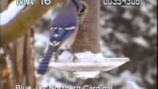 Blue Jay 16mm - Blue Jay Eating From Birdfeeder In Winter - Best Shot Footage - Stock Footage