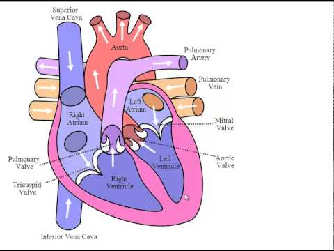 Heart Double Circulation Process Youtube
