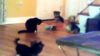 My Cat Boots Big Eyes Glow As He Plays With Yochon Puppies Rumor & Reeses