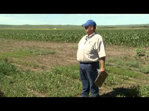 Weed Management: Crop Injury Characteristics and Weed Identification