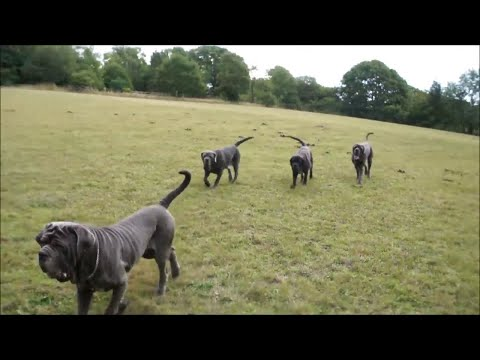 All Four Neo Mastiffs Help on the Horses field