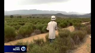 Rooibos tea farmers counter climate change