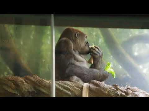 Lincoln Park Zoo Primates 13 Aug 2017