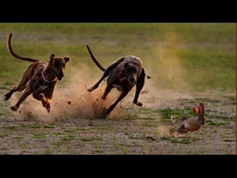Greyhound Chasing Rabbit --- Two Dogs Vs Rabbit  ➤ Tiger Channel Tv