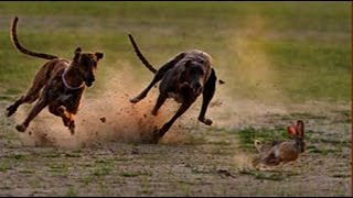 Greyhound Chasing Rabbit --- Two Dogs Vs Rabbit  ➤ Tiger Channel Tv