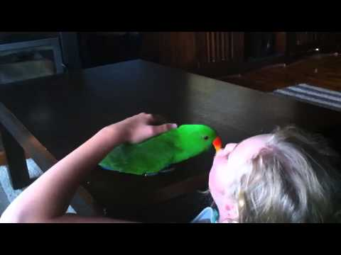 Eclectus parrot playing
