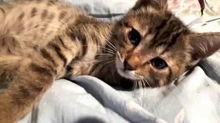 В память о котенке, которого больше нет... Они уходят на радугу...коронавирус и панлейкопения
