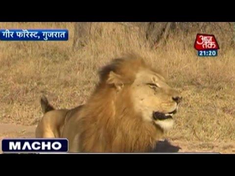 India's Asiatic Lion Population Rising